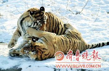 在济南动物园,两只一岁多的小虎崽初次见到这么大的雪,高兴得撒起了欢。