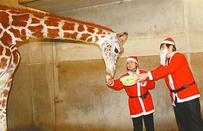 济南动物园:动物也过圣诞节