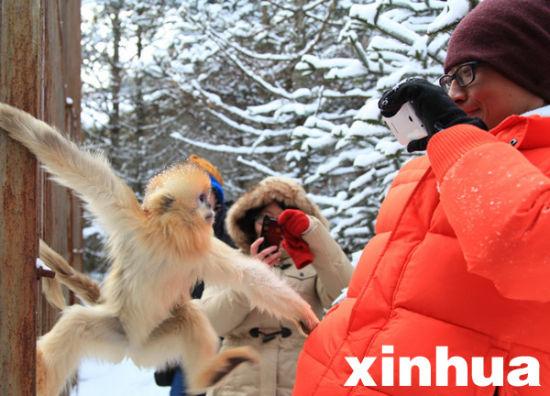 一批北京游客在神农架大龙潭金丝猴科研观赏基地观赏金丝猴