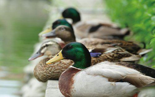 每年9月到次年4月是冬候鸟来台的高峰期,不妨到关渡赏鸟,搜寻如绿头鸭等候鸟的美丽身影。