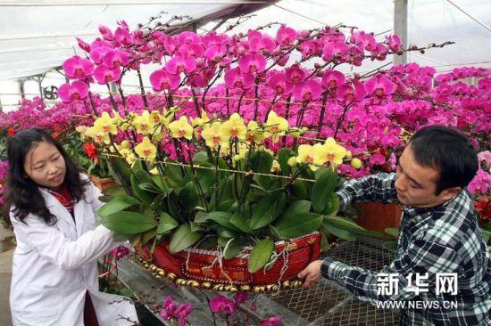 1月17日,花艺师在蝴蝶兰花圃内忙碌。