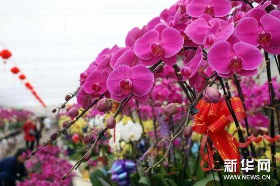 1月17日,市民在蝴蝶兰花圃内观赏兰花。