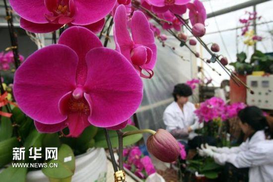 1月17日,花艺师在蝴蝶兰花圃内整理盆栽。