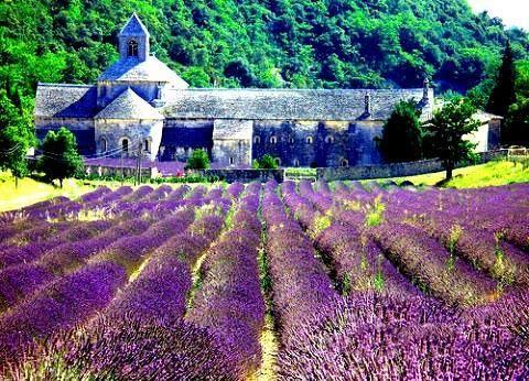 阳光撒在薰衣草花束上,是一种泛蓝紫的金色光彩。