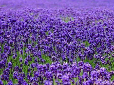 每年的5月至1月是薰衣草开放的时分