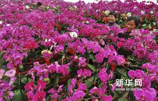 1月22日,山东省滨州市邹平县好生镇花农在整理准备销售的蝴蝶兰。(董乃德 摄)