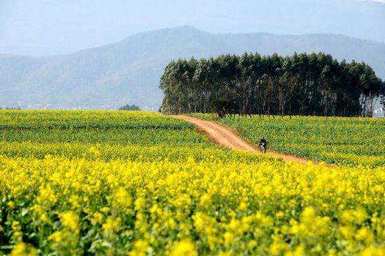 1月22日拍摄的云南罗平成片盛开的油菜花。