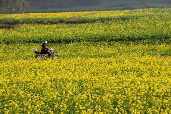 1月22日,一名骑车人从云南罗平成片盛开的油菜花中经过。