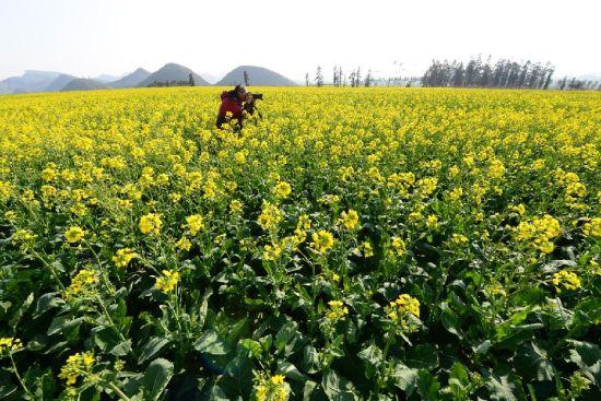 1月22日,一名摄影爱好者在拍摄云南罗平盛开的油菜花。