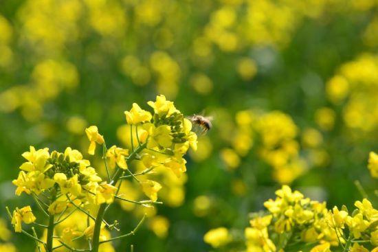 1月22日,一只蜜蜂在云南罗平盛开的油菜花中飞舞。
