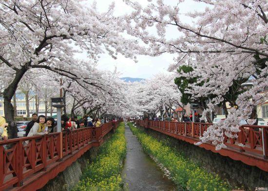韩国樱花节