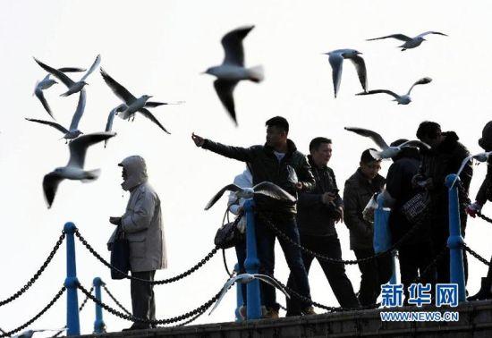 1月28日,游客在青岛栈桥景区观赏海鸥。新华社记者李紫恒摄