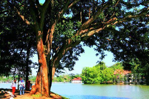 走在康提傍水而生的大树旁,神清气爽
