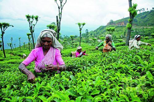 斯里兰卡纬度低,雨水充沛,是上天赐予的绝佳产茶地