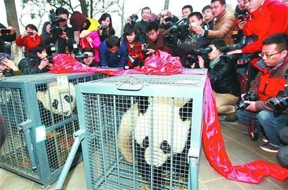 大熊猫正在适应新环境(吕传泉 马战 摄)
