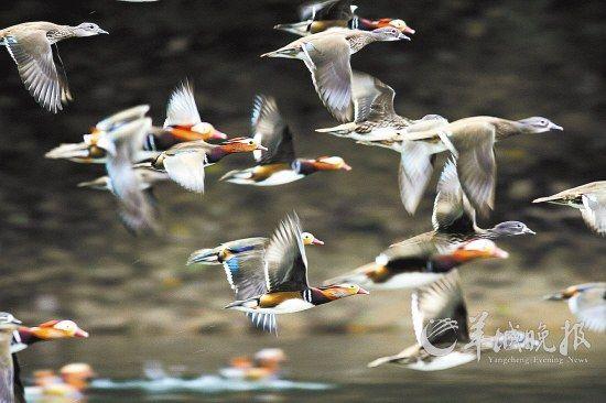 江西婺源赋春鸳鸯湖有众多野生鸳鸯