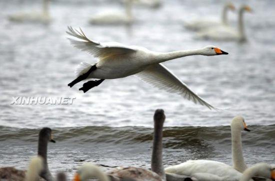 大天鹅在山东荣成烟墩角海边翔集(2月2日摄)。新华社记者李紫恒摄