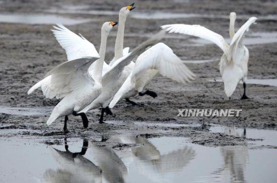 几只大天鹅在山东荣成烟墩角海滩上觅食(2月2日摄)。新华社记者李紫恒摄