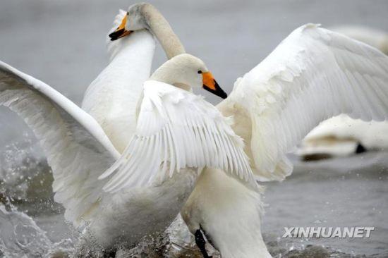 两只大天鹅在山东荣成烟墩角海边嬉戏(2月2日摄)。新华社记者李紫恒摄