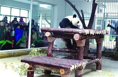 """在济南动物园熊猫大拜年引来众多""""粉丝"""""""