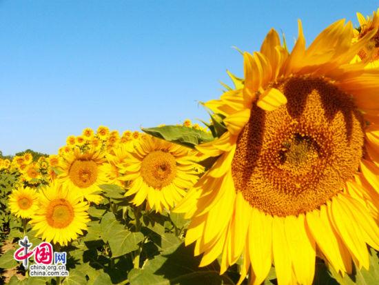 这里不仅有紫色薰衣草,而且还有金色的向日葵