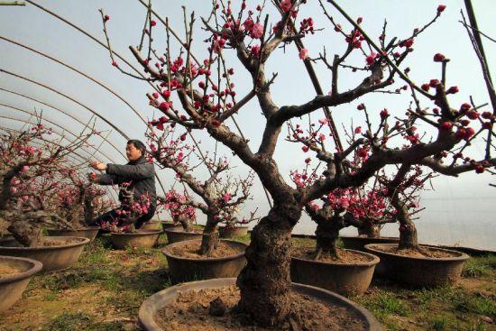 2月20日,山东省临沂市郯城县郯城街道办事处千姿梅花盆景培育基地的花农在修剪梅花盆景。