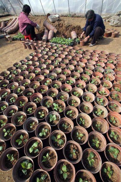 2月20日,山东省临沂市郯城县郯城街道前东庄村的花农正在移栽花苗。