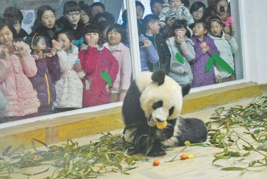 24日,济南动物园熊猫馆饲养员专门用萝卜、苹果等给熊猫制作了大汤圆,让两只大熊猫在济南度过首个元宵节。本报记者 王光营 摄