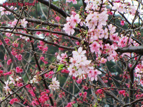 阳光拉长樱花树影清新可喜。(摄影/老霍)