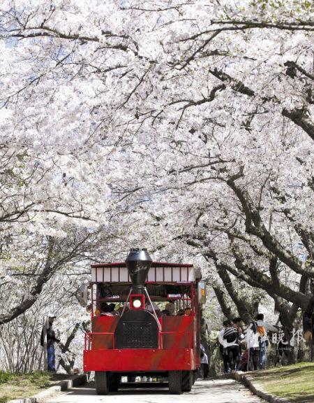 游览车行驶在加拿大多伦多高地公园,载着游客观赏樱花