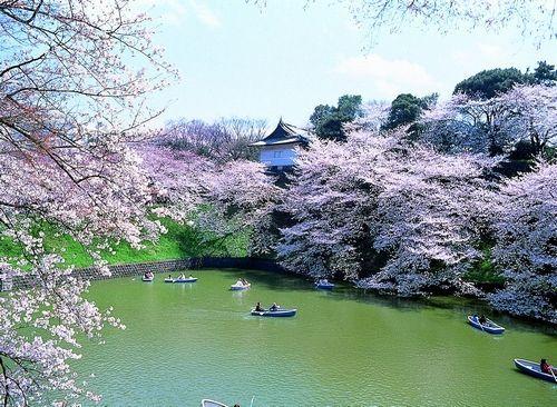 新浪旅游配图:日本樱花 来源:日本旅游局