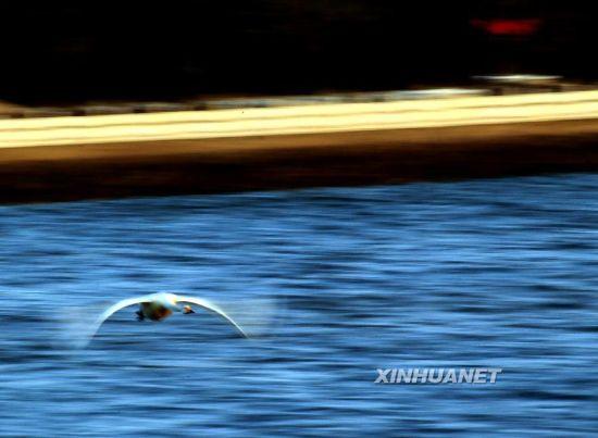 这是3月1日在山东省荣成市烟墎角天鹅湖拍摄的天鹅。