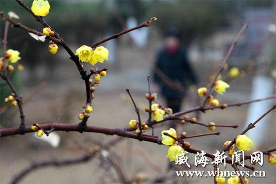 山东威海市区崖头河公园内腊梅花绽放。