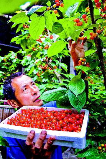 枣庄市山亭区大棚樱桃获丰收