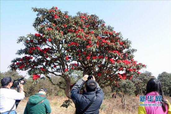 3月3日,一些游客在拍摄一棵有上百年树龄的古杜鹃花。新华社记者 陈海宁 摄