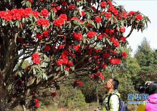 阳春三月,云南省曲靖市沾益县珠江源景区马雄山麓漫山遍野的古杜鹃花竞相开放,进入盛花期,吸引了许多游客踏青赏花。