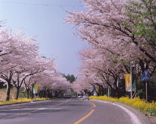 济州岛的樱花