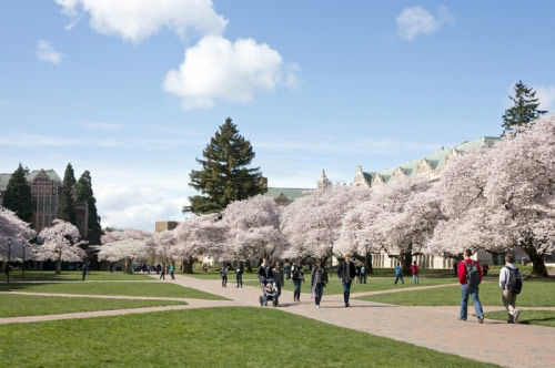 华盛顿大学的樱花大道