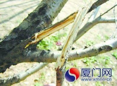 被毁坏的桃树