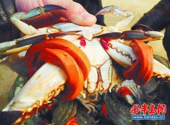 在江苏启东,刚从池塘里出来的螃蟹就被绑上了皮筋。