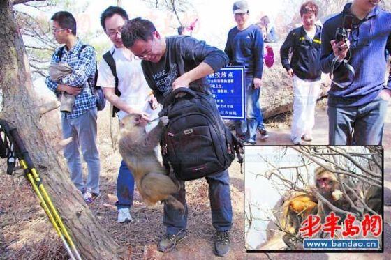 一只猴子扑到游客背包上抢食物。(图由市民刘先生提供)抢到食物的猴子躲到树丛里吃了起来。