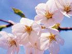 武汉大学樱花季