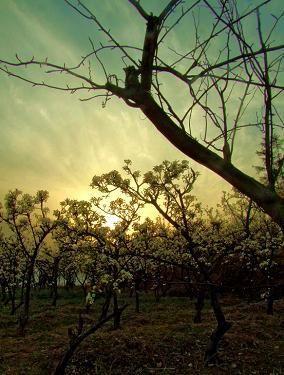 夕阳下的梨花林