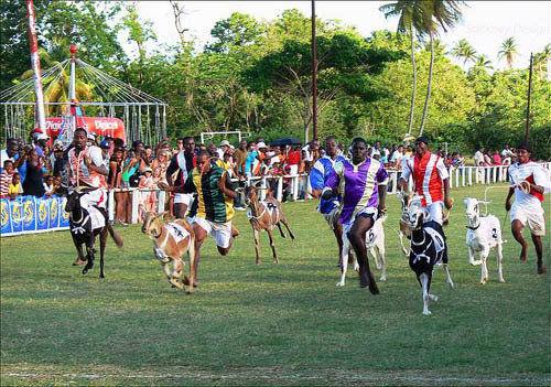 多巴哥岛的布库山羊和螃蟹竞赛