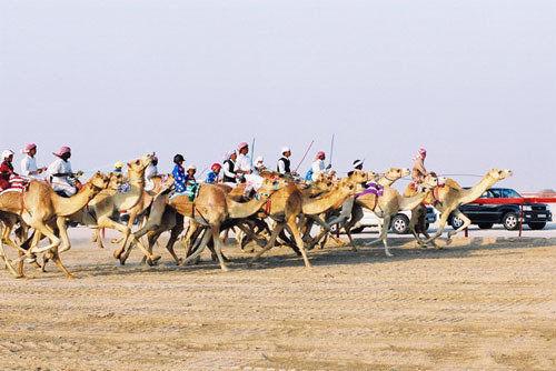 迪拜骆驼赛跑