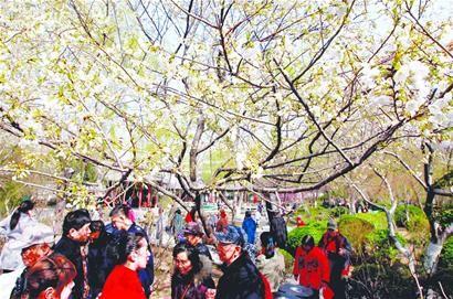 游人在五龙潭畔欣赏盛开的樱花