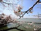 樱花烂漫正当时在花海中享受春意