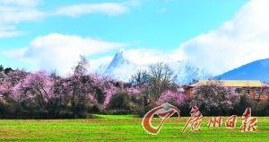 雪域高原上盛开的桃花。