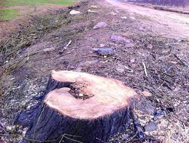 青岛滥伐树被调查