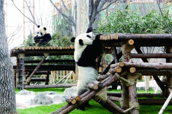 """昨日,两只大熊猫""""海归小帅哥""""和""""四川辣妹子""""首次来到户外活动"""